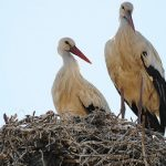 Priests' fowl play forces storks to flee nests