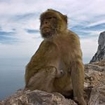 Gibraltar is the only place in Europe with monkeys. Nobody really knows how the Rock's cheeky Barbary macaques made it there; some claim they were brought over by the Moors or the British, others that they somehow crossed over from the Atlas mountains in neighbouring Morocco. Legend has it that if the apes ever leave the mountain, Gibraltar will cease to be British.Photo: Forsterphoto/Flickr