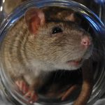'I won't pay fine for giving dead rat to mayor'