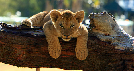 Row over lion cubs at Spanish celebrity fiesta