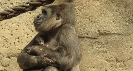 In pictures: Madrid Zoo greets new baby gorilla