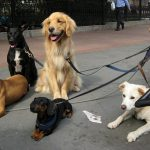 Dog walking is fine in Madrid, but hit the streets with more than eight of our best friends and you could see yourself slapped with a sanction. Woof.Photo: Kristine Paulus