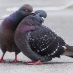 LITTLE PIGEON: Fear not, your partner will not think you're comparing them to a filthy city bird. Pichoncito/a, 'little bird', is sickly sweet but not offensive. Photo: Ingrid Taylar/Flickr