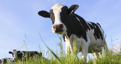 Crazed cow injures eight during city parade