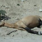 Police arrest man who starved 9 horses to death
