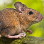 Mouse delays long-haul flight for six hours