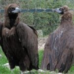 Spain's newest export to France: Vultures