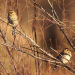 """<b>Common reed bunting.</b> Two subspecies of this bird found in Spain are considered at risk due to loss of habitat with less than 400 pairs of the Emberiza schoeniclus witherbyi  bird left in Spain, which is a very low number compared to other subspecies.Photo: <a href=""""http://bit.ly/1AjFUGr"""">Ferran Pestaña</a> / Flickr Creative Commons."""