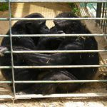 Escaped chimp found drowned after mate shot