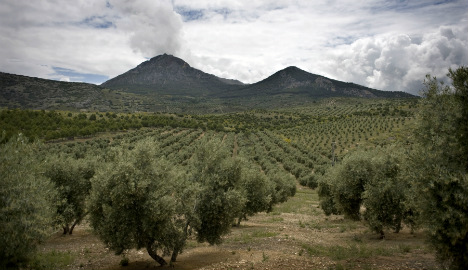 Could olive 'ebola' wipe out crop in Spain?