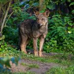"""<b>Iberian wolf.</b> This subspecies of the grey wolf dwells in Spain and Portugal. The Francoist government tried to wipe out the wolf in the 1950s and 1960s, and despite being a protected species they are still under threat from hunters.Photo: <a href=""""http://bit.ly/1doLbCm"""">Michelle Bender</a> / Flickr Creative Commons."""