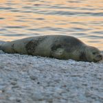 """<b>Mediterranean monk seal.</b> This loveable pinniped, though generally shy to humans, is one of the rarest of its kind as well as one of the most endangered species in the world. Hunting, fishing, pollution and heavy ship traffic have all contributed to its demise.Photo: <a herf=""""http://bit.ly/1FHSSjn"""">Wildlife Wanderer</a> / Flickr Creative Commons."""