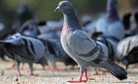 Spanish town to put its pigeons on the pill
