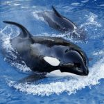 Killer whales spotted in waters off Canary Islands