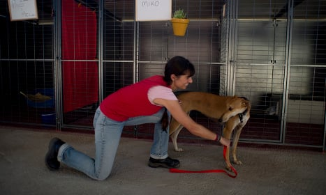 The plight of Spain's hunting greyhounds