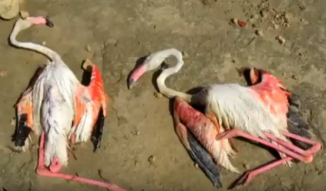 Hundreds of flamingos battered to death during giant hailstone storm