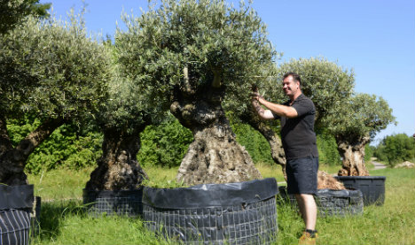 The latest must-have item for rich Europeans? Olive trees from Spain