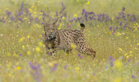 Drones to keep watchful eye in the sky over endangered Iberian lynx