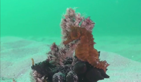 Watch: This rare seahorse has just been discovered in Spain