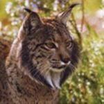 Two endangered Iberian lynx killed on roads within a week