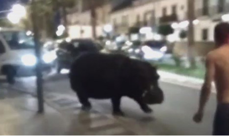 Watch this escaped hippo waddle through Spanish town