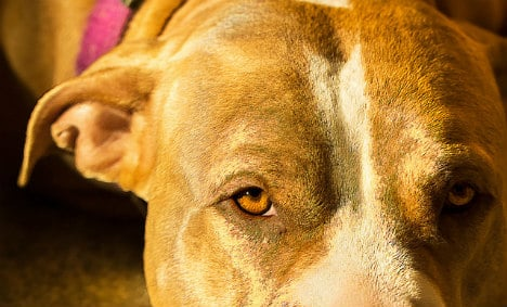 Catalan police hunt gangs stealing dogs for illegal fights