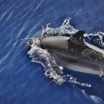 <b>Wildlife</b>: The seas around the Canary Islands are home to up to one-third of the world's dolphin and whale species, as well as a whole host of other creatures. Photo: Emma Jespersen/Flickr