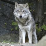 Spanish parents fight for right to name their son 'Wolf'