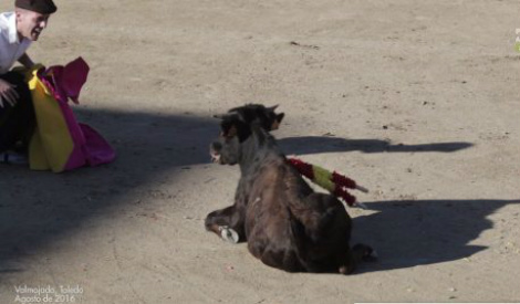 Shocking video shows torture of young calf during fiesta