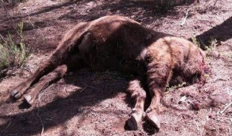 Bison found decapitated on Valencia nature reserve