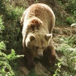 Protected brown bear found shot dead in northern Spain