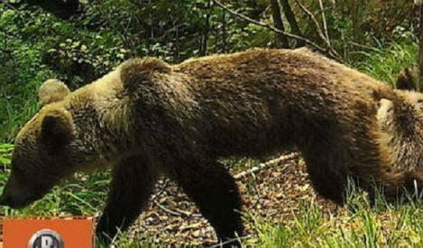 Drought threatens Spain's wild bears with starvation