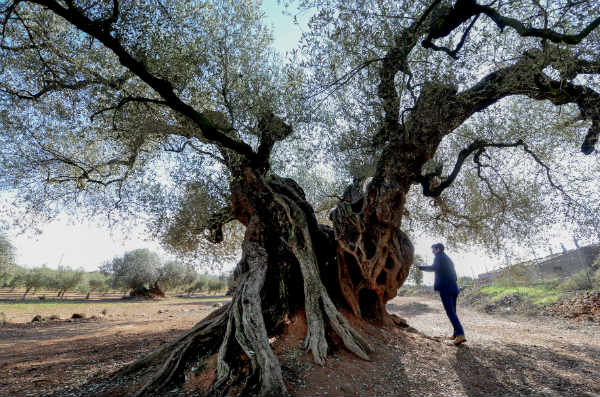 A trip to the land of endangered ancient olive trees