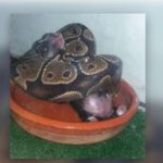 Granada woman investigated for feeding live puppies and kittens to pet snake