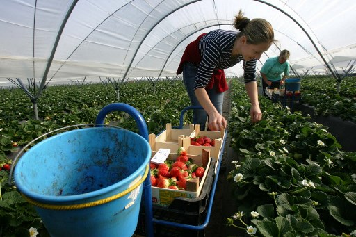 Jobless Spaniards turn noses up at 12,000 strawberry-picking jobs