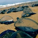 Barcelona beaches invaded by swarms of strange blue sea creatures