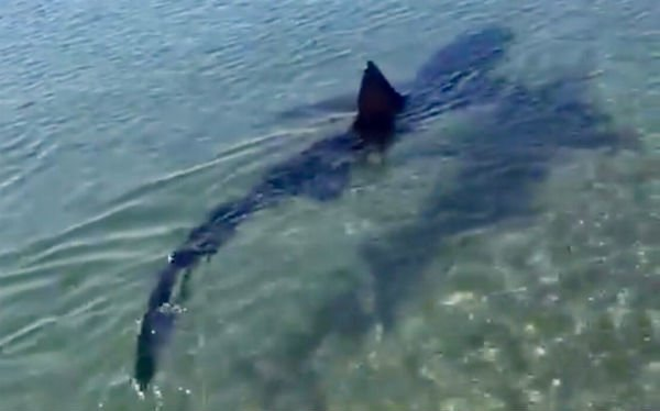 VIDEO:  Ten-foot shark sparks panic among bathers on Costa del Sol beach