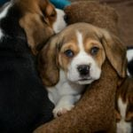 Vet extradited to US over puppy-smuggling heroin plot
