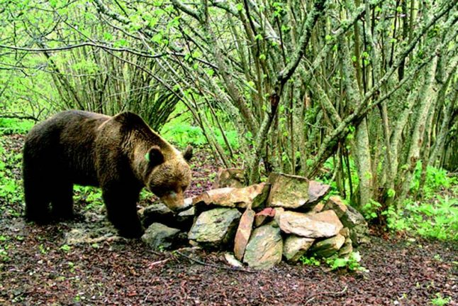 Brown bear with taste for mare faces expulsion from Pyrenees