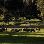 Spain records more pigs than people for first time ever