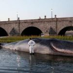 How a sperm whale washed up on the banks of Madrid's Rio