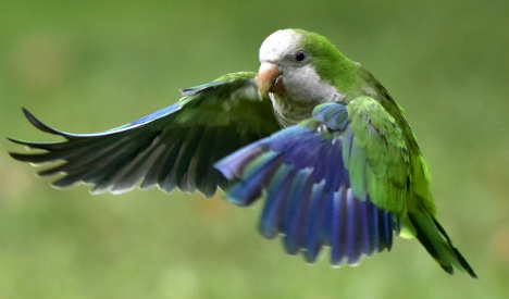 Snipers wanted to hunt Spain's Green-Feathered Terror