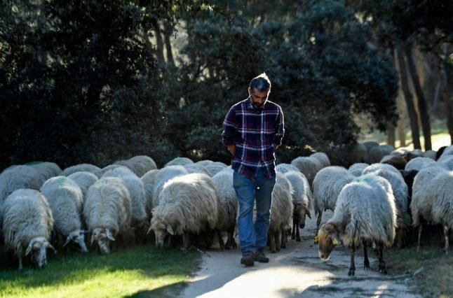Sheep nibble Madrid's largest park into shape