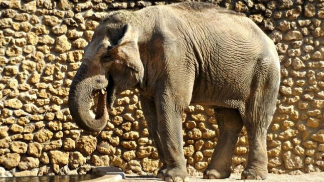 The world's saddest elephant, dies after 43 years alone in Cordoba zoo