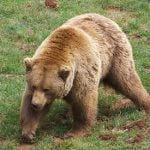Spanish brown bear wanders across border into Portugal, the first in 175 years