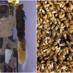 Spanish couple spends two years living with 80,000 bees in their bedroom wall