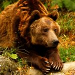 Spain and France call urgent meeting to decide fate of sheep-killing Pyrenees bear