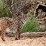 How Spain brought the Iberian Lynx back from the brink of extinction