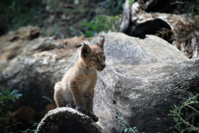 WATCH: First Eurasion Lynx born in Spanish Pyrenees for more than a century