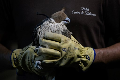 Falcons: Spain becomes biggest exporter of hunting raptors to Arab world